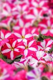 Pink petunia flowers royalty free stock image