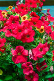 Colorful petunia plants in full bloom Stock Image