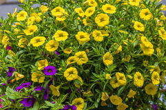 Colorful petunia plants in full bloom Royalty Free Stock Images