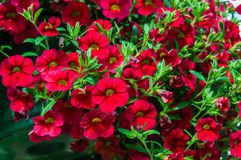 Colorful petunia plants in full bloom Royalty Free Stock Photo