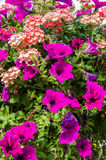Colorful petunia plants in full bloom Stock Photography