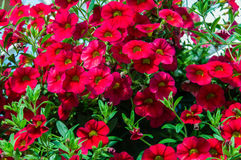 Colorful petunia plants in full bloom Stock Photos