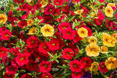 Colorful petunia plants in full bloom Stock Photo