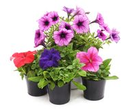 Colorful petunia in the pot. On a white background royalty free stock image