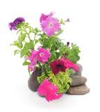 Colorful petunia. Royalty Free Stock Photo