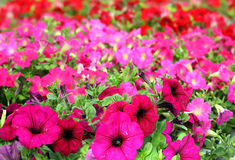 Colorful petunias close-up Stock Photo