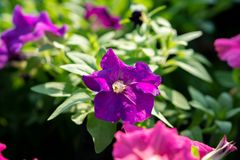 Close up of petunias at Suan Luang Rama IX Park ,Thailand stock images