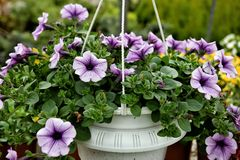 Colorful petunias  in a hanging flowerpot. Colorful petunias in the white hanging flowerpot on the green background royalty free stock image