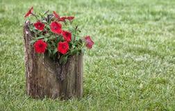 Colorful petunias in log planter royalty free stock photos
