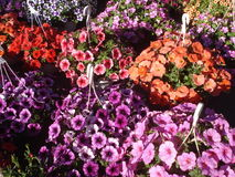 Colorful petunias at marketplace. Colorful petunias in hanging pots at marketplace Stock Photos