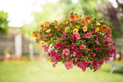 Colorful petunias in a suspended basket Stock Image
