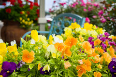 Colorful Petunias in Texas Stock Photography