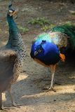 Colorful pheasant bird. Blue head and decorative long tail stock images
