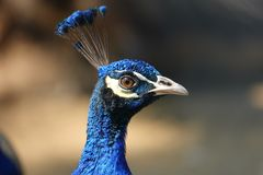 Colorful pheasant bird. Blue head and decorative long tail stock photography