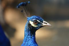 Colorful pheasant bird. Blue head and decorative long tail royalty free stock photos
