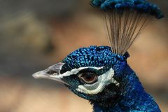 Colorful pheasant bird. Blue head and decorative long tail royalty free stock photography