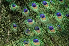 Colorful pheasant bird. Blue head and decorative long tail royalty free stock photo