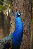 Colorful pheasant bird. Blue head and decorative long tail stock photos