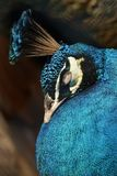 Colorful pheasant bird. Blue head and decorative long tail royalty free stock images