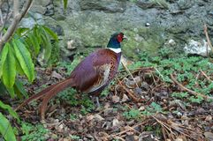 Colorful pheasant. Cheeky pheasant looking for something to eat royalty free stock images
