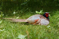 Colorful Pheasant sitting in the grass. Pheasant sitting in the grass showing off it`s beautiful plumage Royalty Free Stock Photo