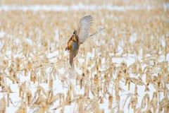 A Pheasant Takes Flight from a Snowy Cornfield - Nebraska stock photo