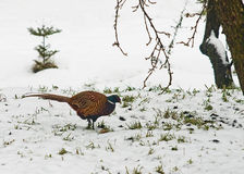 Colorful pheasant in winter scenery Royalty Free Stock Photo