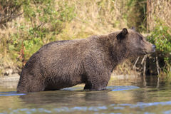 Colorful photograph of brown bear in river Royalty Free Stock Photography