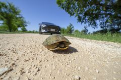 Turtle stuck in the road Royalty Free Stock Photography