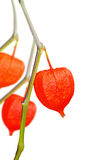 Colorful physalis Stock Images