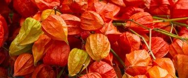 Colorful physalis. Physalis alkekengi on a market in autumn Stock Photos