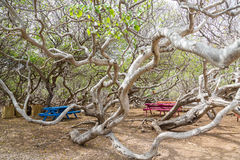 Colorful Picnic Tables Among Manchineel Branches Royalty Free Stock Images