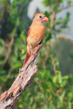 Colorful picture of female cardinal Stock Photography