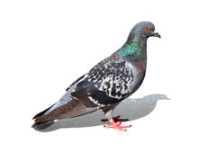 Free Colorful Pigeon - Clipping Path Stock Images - 15783334