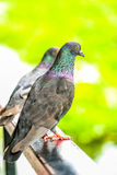 Colorful pigeon hold on a handrail. Closeup marcro colorful pigeon hold on a handrail Stock Images