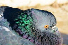 Colorful pigeon in Venice, close up, portrait Royalty Free Stock Images