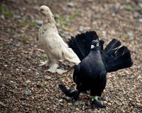 Colorful pigeons feeding, walking on the ground Royalty Free Stock Images