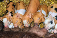 Colorful piglets diner time Royalty Free Stock Image
