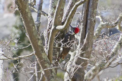 Colorful Pileated Woodpecker on a Winter Dogwood Tree Royalty Free Stock Photography