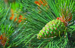 Colorful Pine Acorn Stock Image
