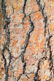 Colorful pine tree bark. Beautiful texture and colors on a pine tree bark at Devils Tower National Park stock photography