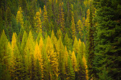 Colorful Pine Trees Background Royalty Free Stock Photo