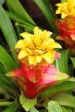 Colorful Pineapple Flower Ananas Comosus Stock Image