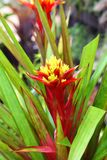 Colorful pineapple flower (Ananas Comosus flower) Stock Image