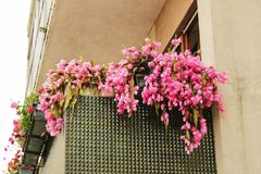 Colorful pink cactus flowers hanging on a balcony royalty free stock photos