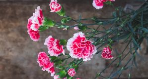 Colorful pink carnations in a vase on wooden background royalty free stock images