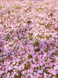 Colorful pink cherry blossom petals fall on the ground stock photo