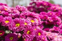 Colorful pink chrysanthemum Stock Image