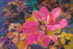 Colorful pink coral autumn leaves. Royalty Free Stock Photos