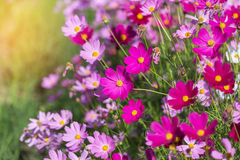 Colorful pink cosmos flowers blooming Royalty Free Stock Photo